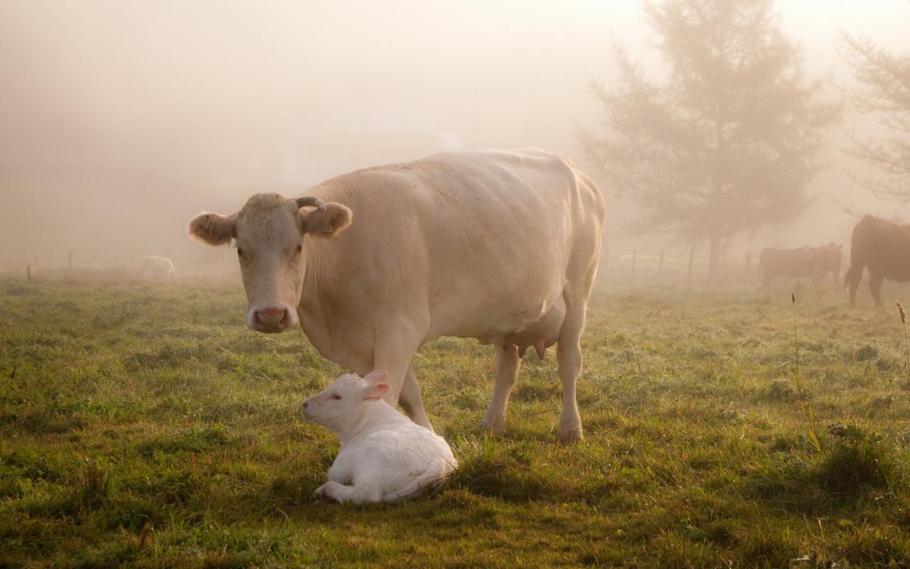 勤勤恳恳一辈子的老牛,关键肉也不错呀-觅爱图
